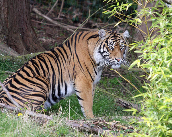 Point Defiance Poster featuring the photograph Sumatran Tiger - 0011 by S and S Photo