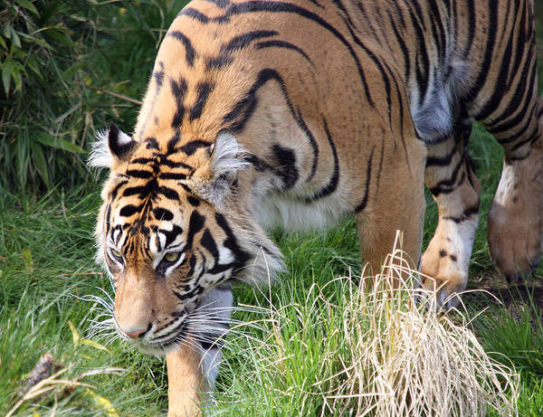 Point Defiance Poster featuring the photograph Sumatran Tiger - 0014 by S and S Photo