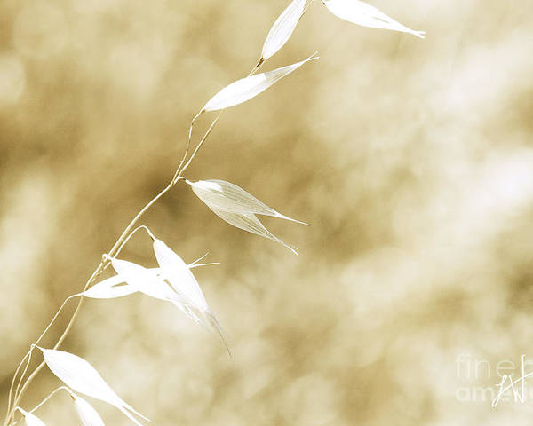 Summer Wheat Poster featuring the photograph Summer Grass by Artist and Photographer Laura Wrede