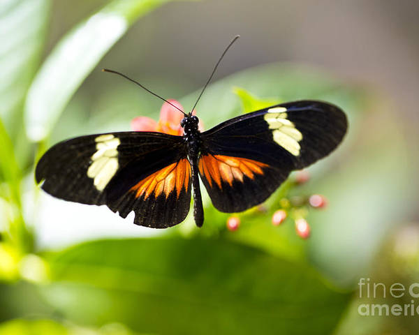 Butterfly Poster featuring the photograph Summer Love by Leslie Leda