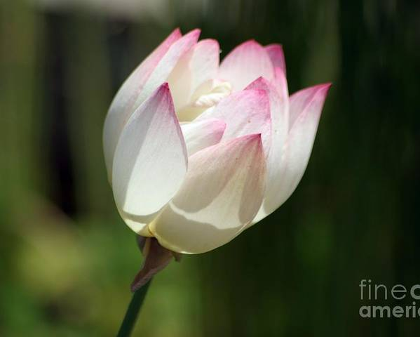 Flower Poster featuring the photograph Sun Kissed by Living Color Photography Lorraine Lynch