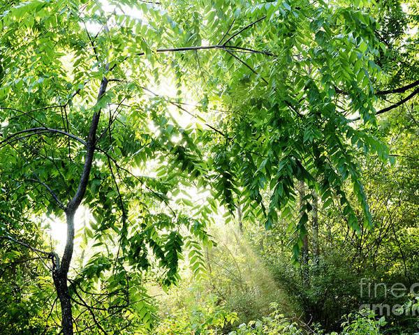 Juglans Nigra Poster featuring the photograph Sun Rays Through Black Walnut Leaves by Thomas R Fletcher
