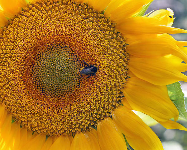 Sunflower Poster featuring the photograph Sunflower And A Bumblebee by Aleksandr Volkov