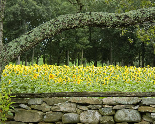 Buttonwood Farm Poster featuring the photograph Sunflowers 1 by Ron Smith