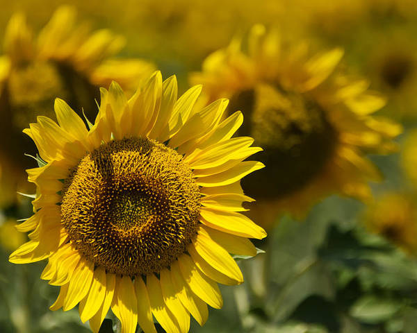 Sunflowers Poster featuring the photograph Sunflowers by Lisa Moore