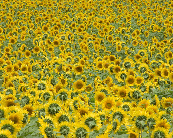Buttonwood Farm Poster featuring the photograph Sunflowers by Ron Smith