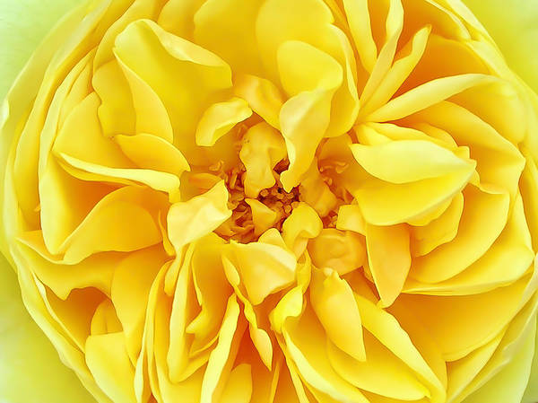 Macro Poster featuring the photograph Sunny Yellow Rose With Petals And Stamens - Macro Flower Photography by Chantal PhotoPix