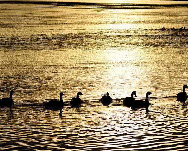 Yellowstone Poster featuring the photograph Sunset Over Canada Geese by Joseph Rossi