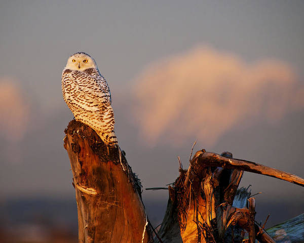 Snowy Owl Poster featuring the photograph Sunset Owl by Yoshiki Nakamura