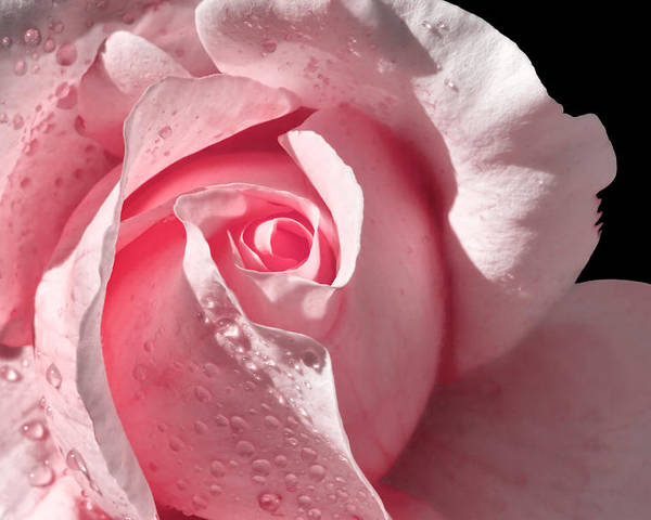 Pink Rose Poster featuring the photograph Supple Pink Rose Dipped In Dew by Tracie Kaska