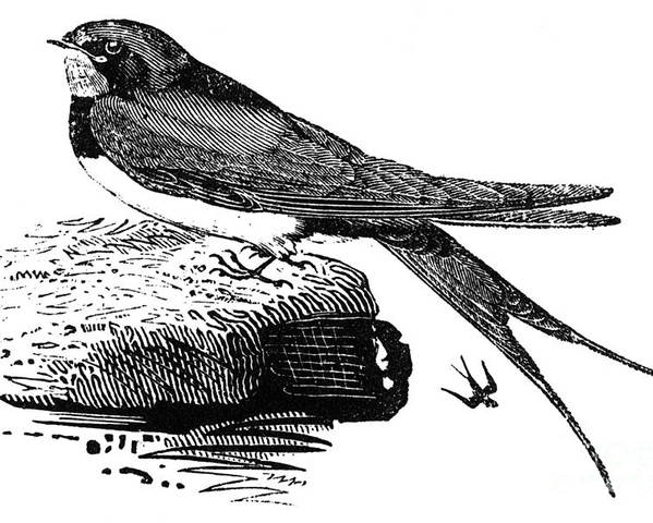 1800 Poster featuring the photograph Swallow, C1800 by Granger