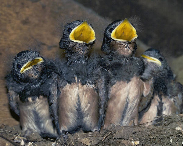 Hirundo Rustica Poster featuring the photograph Swallow Chicks by Georgette Douwma