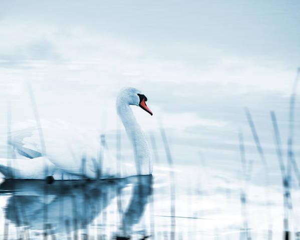 Animal Poster featuring the photograph Swan by Jaroslaw Grudzinski