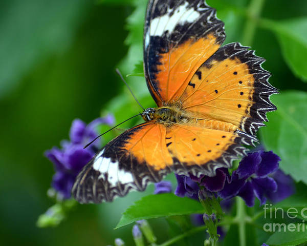 Butterfly Poster featuring the photograph Sweet Nectar by Richard Ortolano