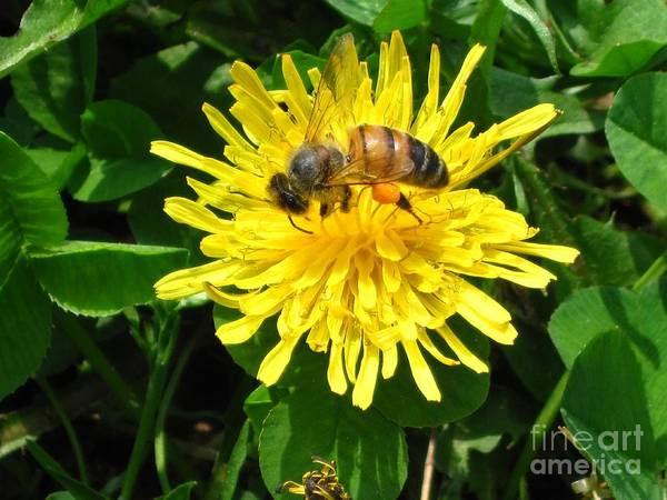 Bees Poster featuring the photograph Sweet Nectar by The Kepharts