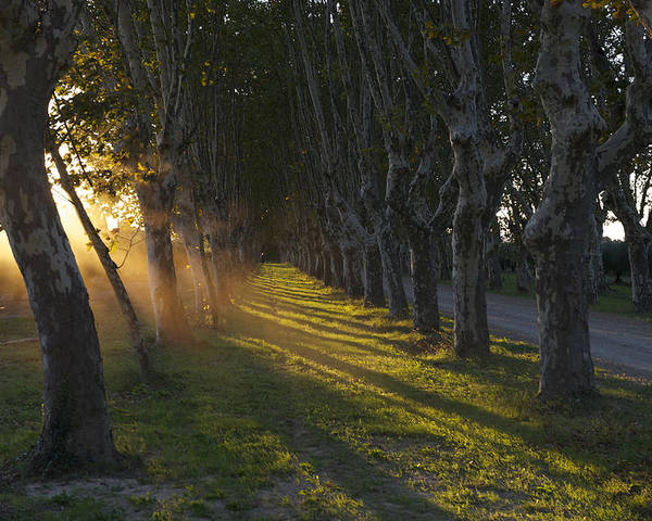 sycamore trees line the driveway poster by keenpress