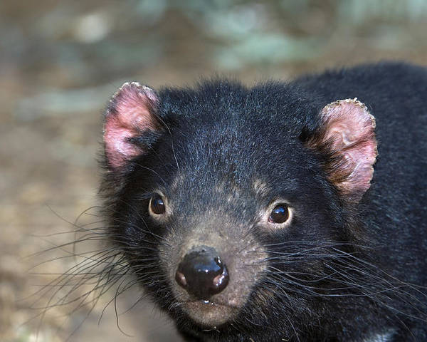 Sarcophilus Harrisii Poster featuring the photograph Tasmanian Devil by Tony Camacho