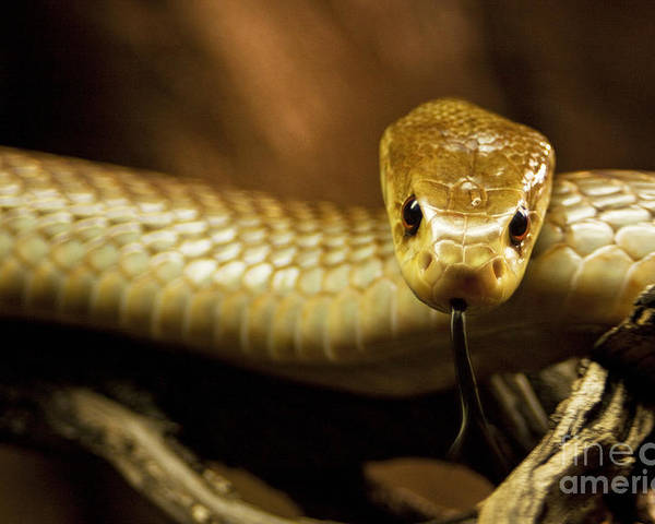 Snake Poster featuring the photograph Tempter by Andrew Paranavitana
