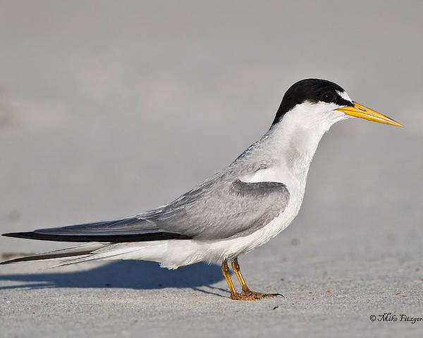 Florida Poster featuring the photograph Tern by Mike Fitzgerald