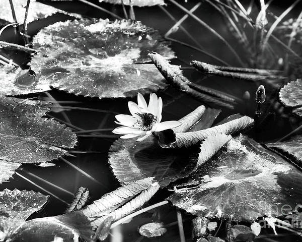 Texas Lily Pond Poster featuring the photograph Texas Lily Pond by John Rizzuto