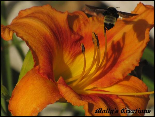 Day Lilies Poster featuring the photograph the Bees have it by Marjorie Smith