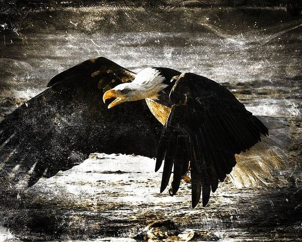 Bald Eagle Poster featuring the digital art The Chase by Carrie OBrien Sibley