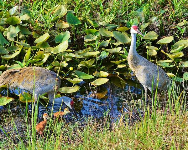 Sandhill Crane Poster featuring the photograph The New Family by Lynda Dawson-Youngclaus