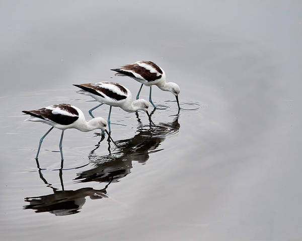 Sandra Barnes Poster featuring the photograph The Three Avocets by Sandra M Barnes