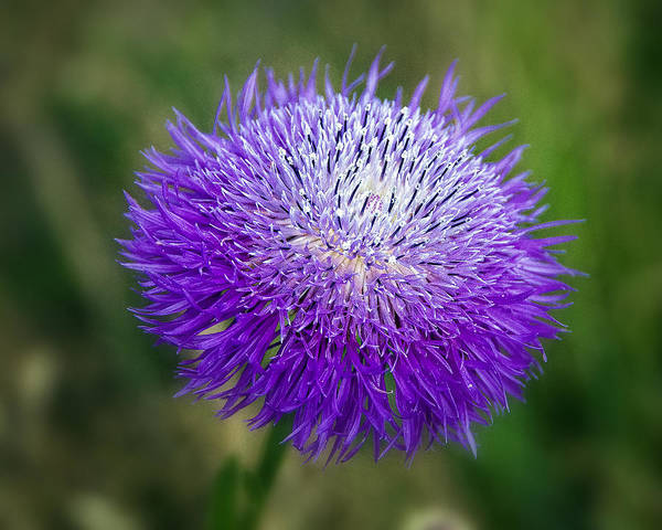 Wildflower Poster featuring the photograph Thistle I by Tamyra Ayles