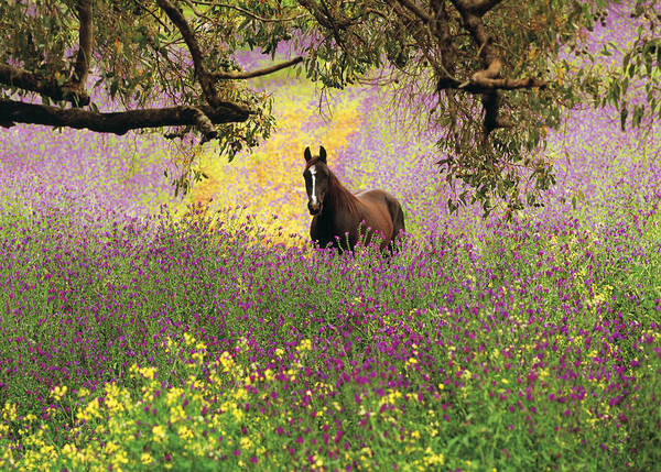 Horizontal Poster featuring the photograph Thoroughbred Horse Among Wildflowers In The Chittering Valley, Western Australia by Peter Walton Photography
