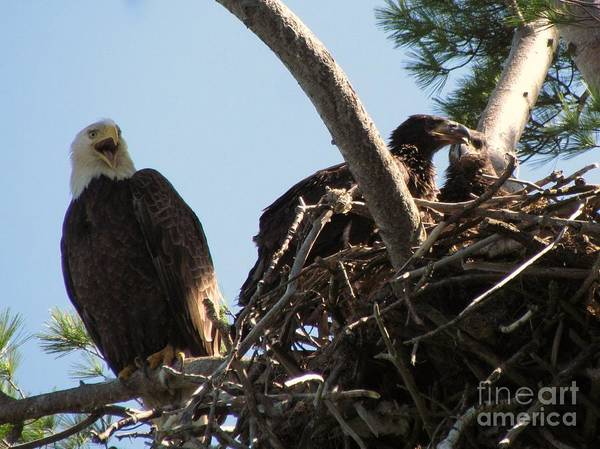 A Bird Of Prey Found In North America Poster featuring the photograph Three Bald Eagles In The Nest by Mitch Spillane