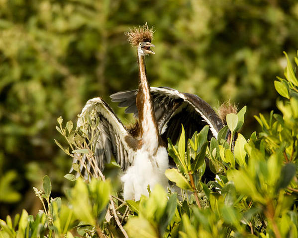 Three Animals Poster featuring the photograph Three Tricolored Heron Egretta Tricolor by Tim Laman