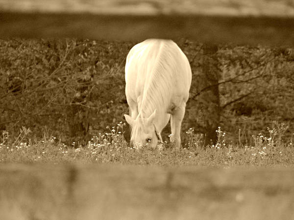 Horse Poster featuring the photograph Through The Fence by Brenda Conrad
