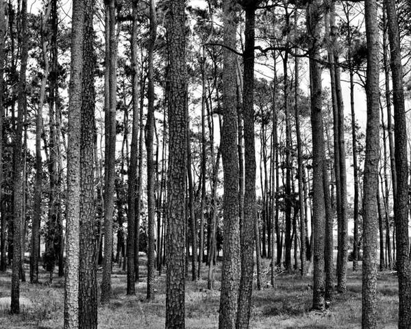 Landscape Poster featuring the photograph Thru The Pines by Jonathan Garrett