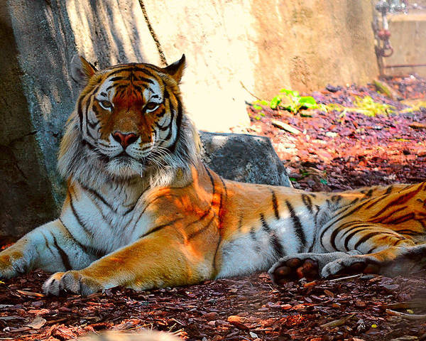Tiger Poster featuring the photograph Tiger Stripes by Jessica Terra