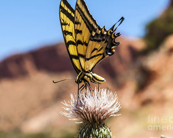 Butterfly Poster featuring the photograph Tiger Swallowtail Butterfly In The Desert by Scotts Scapes