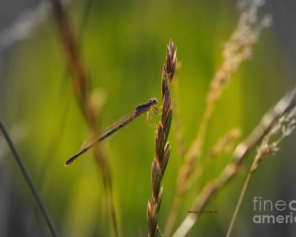 Damselfly Poster featuring the photograph Tranquil by Ming Yeung