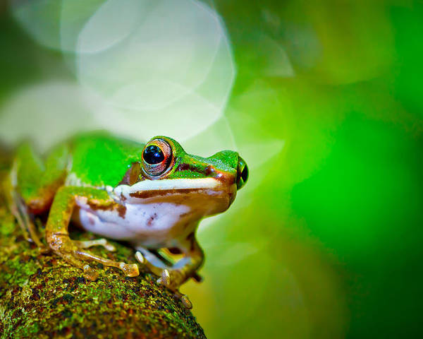 Horizontal Poster featuring the photograph Tree Frog by Albert Tan photo