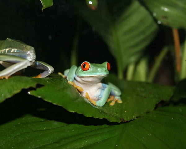 Tree Frog Poster featuring the photograph Tree Frog by David Dinsdale
