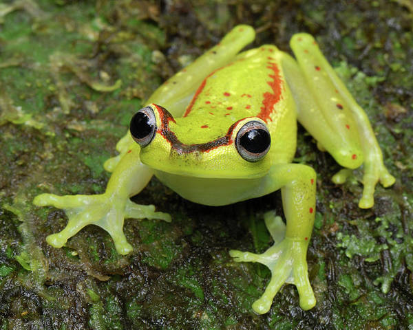 Mp Poster featuring the photograph Tree Frog Hyla Rubracyla, Colombia by Thomas Marent