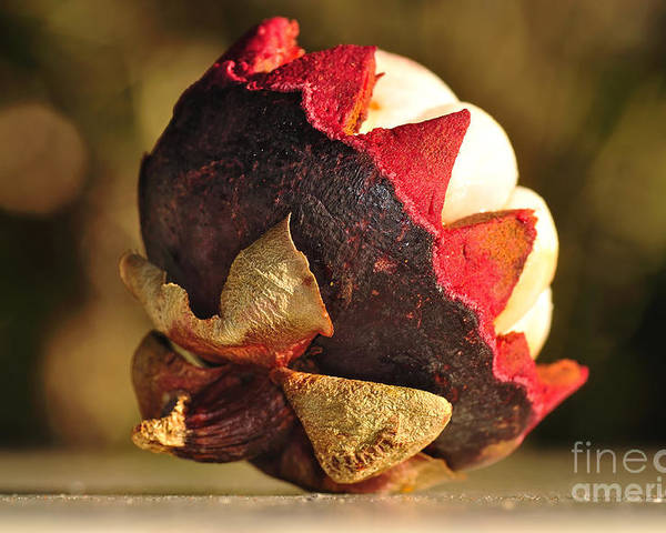 Photography Poster featuring the photograph Tropical Mangosteen - The Medicinal Fruit by Kaye Menner