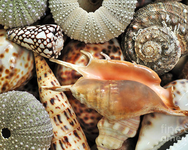 Photography Poster featuring the photograph Tropical Shells by Kaye Menner