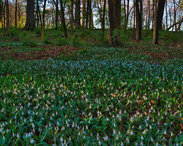 Illinois Poster featuring the photograph Trout Lilies On Forest Floor by Steve Gadomski