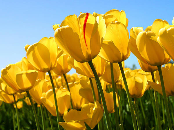 Flower Poster featuring the photograph Tulip by Dhirendra Jaiswal