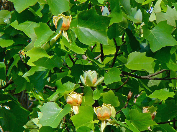 Tulip poplar tree in flower liriodendron tulipifera poster by flowers poster featuring the photograph tulip poplar tree in flower liriodendron tulipifera by mother nature mightylinksfo