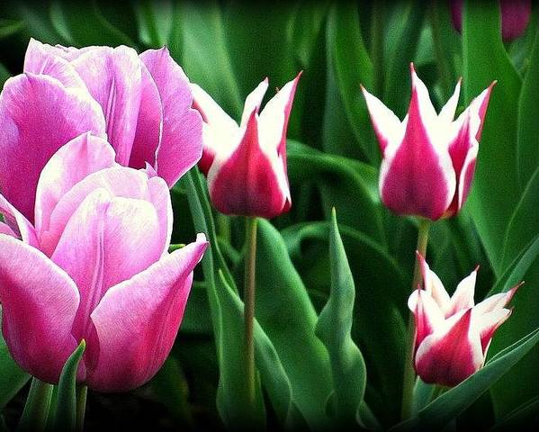 Tulip Poster featuring the photograph Tulip Time by Vickie Beasley