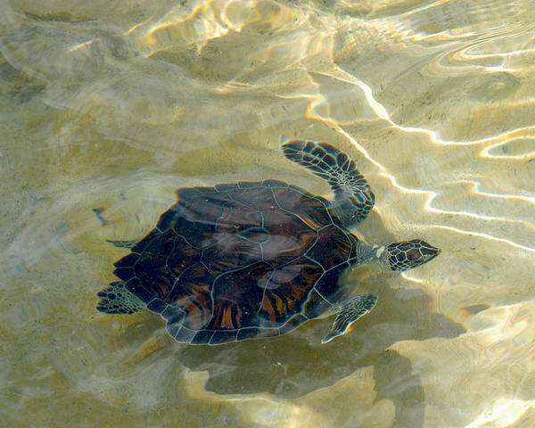 Sea Turtle Poster featuring the photograph Turtle Ripple by Stacey Robinson