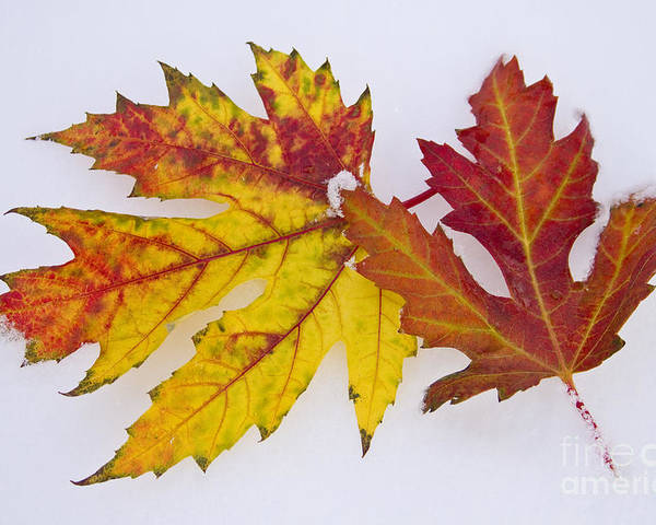 Snow Poster featuring the photograph Two Autumn Maple Leaves by James BO Insogna