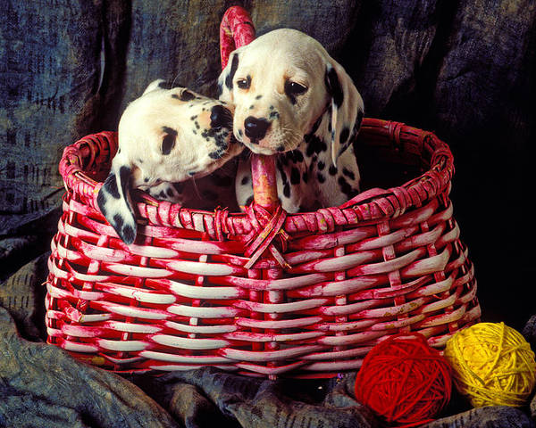 Two Dalmatian Poster featuring the photograph Two Dalmatian Puppies by Garry Gay