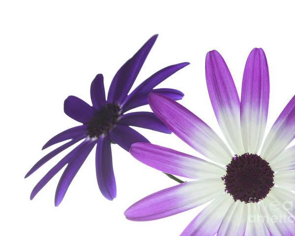 Annual Poster featuring the photograph Two Senetti's by Richard Thomas